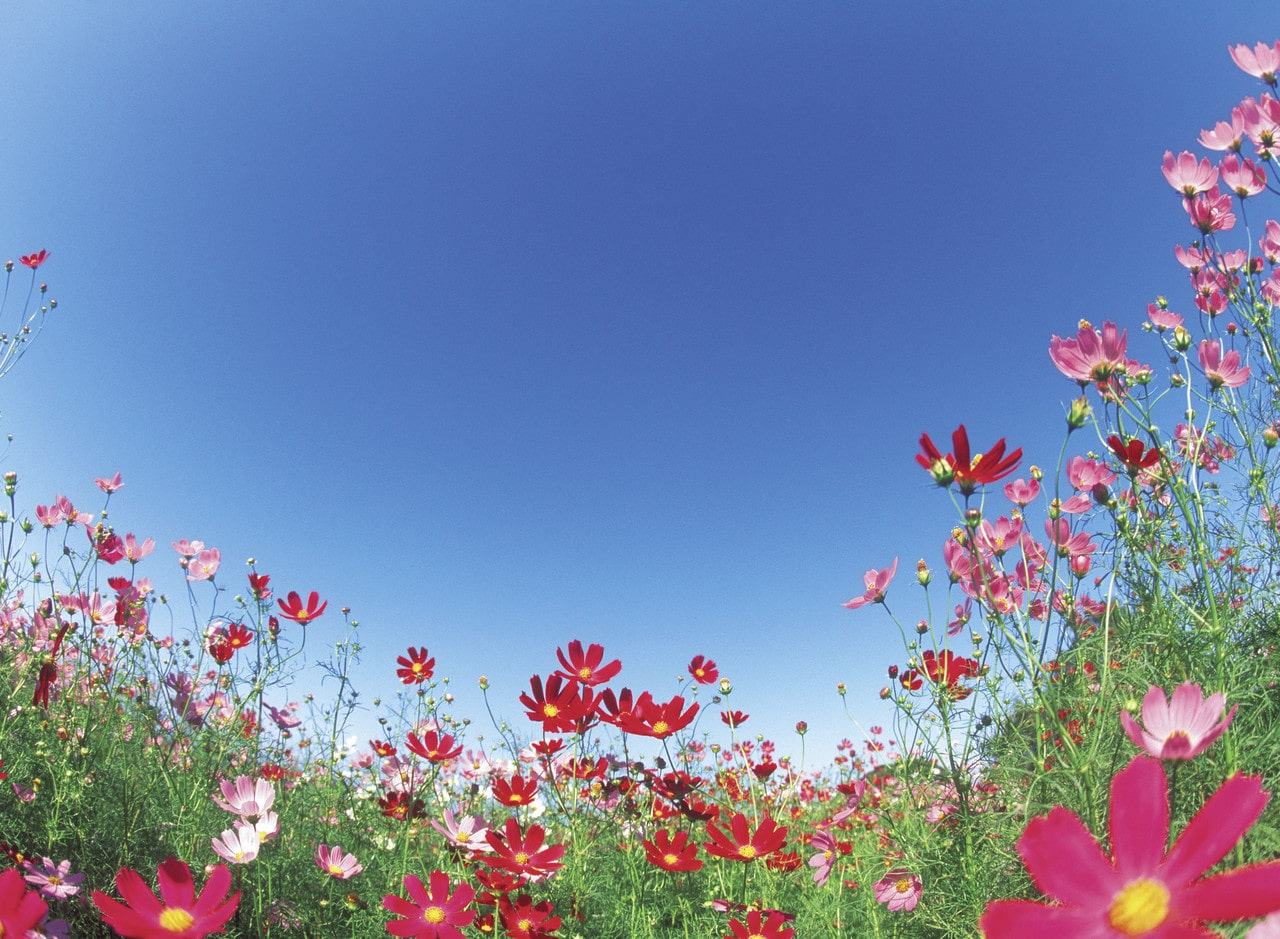 Field of Pink Wild Flowers